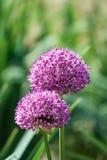 Närbilden på Alium blommor komponerade av många delikata kronblad royaltyfri foto