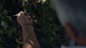 Närbilden skörd för gamal manhopsamlingsparris avskiljer pinnar från sugrör arkivfilmer
