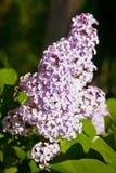 Närbildfilial av den violetta lilan arkivfoton