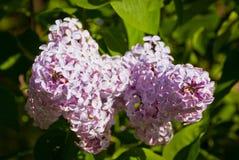 Närbildfilial av den violetta lilan royaltyfria bilder