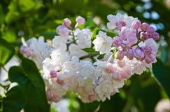 Närbildfilial av den vita lilan arkivbilder
