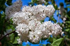 Närbildfilial av den vita lilan royaltyfria bilder