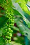 Närbildfoto av en grupp av gröna druvor, organiskt arbeta i trädgården arkivbilder