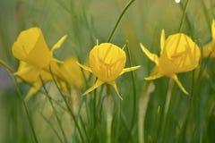 Närbildfoto av små gula påskliljor som liknar trumpeter arkivfoto