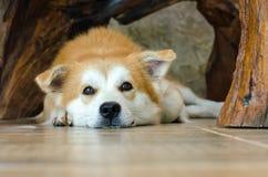 Närbildframsida av den gulliga bruna hunden som ligger på golv Arkivfoto
