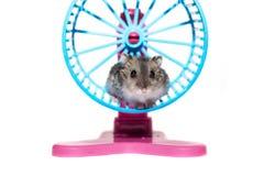 NärbildframsidaDjungarian hamster på vit bakgrund Royaltyfri Bild