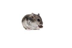 NärbildframsidaDjungarian hamster på vit bakgrund Fotografering för Bildbyråer