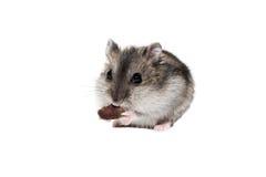 NärbildframsidaDjungarian hamster på vit bakgrund Royaltyfri Fotografi