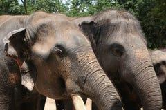 Närbildgrupp av elefanter och solljus Royaltyfria Bilder