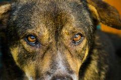 Närbildhundöga som ser dig Royaltyfri Foto