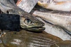 Närbildhuvud med skarpa tänder av den rå kummelfisken på räknare på fiskmarknaden Ny fisk på storedisplay äta som är sunt royaltyfria bilder