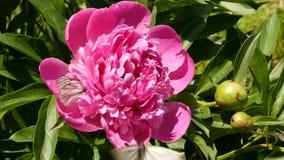 Närbildknopp av terosblomman som blommar i solljus Buskar av rosa färgolja steg blommor i en trädgård 4K stock video
