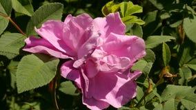 Närbildknopp av terosblomman som blommar i solljus Buskar av rosa färgolja steg blommor i en trädgård 4K arkivfilmer