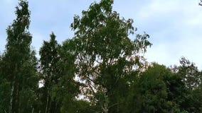 Närbildlängd i fot räknat av gröna filialer framme av molnig himmel lager videofilmer