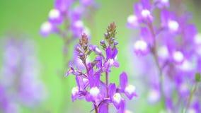 NärbildlilaLupine i blom på soluppgången arkivfilmer