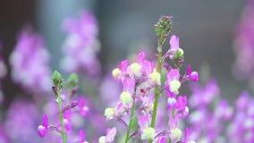 NärbildlilaLupine i blom på soluppgången stock video