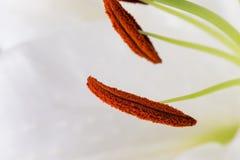 Närbildmakroen för den vita liljan sköt i studio på pastellfärgad bakgrund Royaltyfria Foton