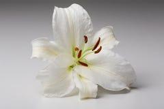Närbildmakroen för den vita liljan sköt i studio på pastellfärgad bakgrund Arkivfoton