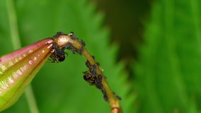 Närbildmyror och bladlöss stock video