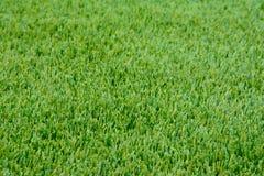Närbildprövkopia av vinterRyegrassgräsmatta med perfekt klippt, Royaltyfri Foto