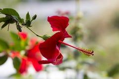 Närbildprofil av en Scarlett China Rose med röd och grön bokeh royaltyfri fotografi