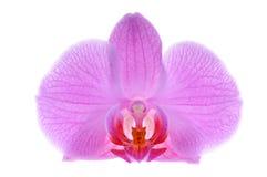 Närbildrosa färgorchid royaltyfri bild