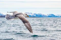 NärbildSeagullflyg med bakgrundsberget Royaltyfria Foton