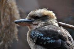 Närbildsidosikt av en skrattfågel arkivfoto