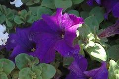 Närbildsidosikt av fulla purpurfärgade petuniablom med morgons färgstänk av naturligt fullt varmt solljus arkivfoto