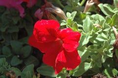Närbildsidosikt av fulla röda petuniablom med naturligt fullt varmt solljus för morgon arkivfoton