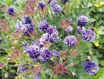 Närbildsikt av Aquilegia vulgaris 'Christa Barlow ', royaltyfri fotografi