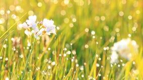 Närbildsikt av dagg på det nya gröna gräset i morgonen lager videofilmer