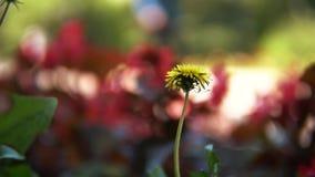 Närbildsikt av den härliga gula maskrosen mot den suddiga konturn av rött ljust växa för blommor på blomman arkivfilmer