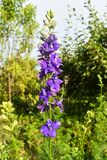 Närbildsikt av den härliga violetta blomman i trädgården i en solig sommardag arkivbilder
