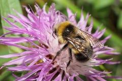 Närbildsikt av en bästa Caucasian blomkålBombusserrisquama Arkivfoto