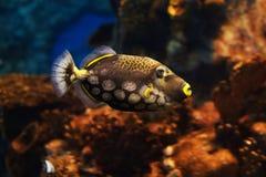 Närbildsikt av en clowntriggerfishBalistoides conspicillum, mjuk fokus arkivfoton