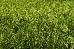 Närbildsikt av en risfält royaltyfria bilder