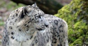 Närbildsikt av en snöleopard royaltyfri bild