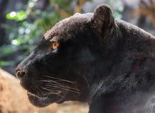 Närbildsikt av en svarta Jaguar Royaltyfri Bild
