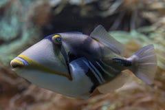 Närbildsikt av en triggerfish på en rev Arkivfoton