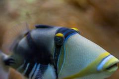 Närbildsikt av en triggerfish på en rev Royaltyfria Bilder