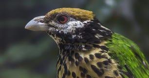 Närbildsikt av engå i ax catbird Royaltyfri Fotografi