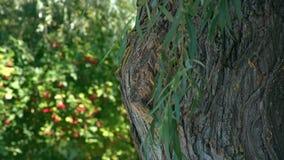 Närbildsikt av ett gammalt träd stock video