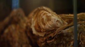 Närbildsikt av exotiska bruna snäckskal i hörnet av akvariet Ram undervattens- livstid lager videofilmer