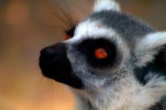 Närbildsikt av lemuren Arkivbild