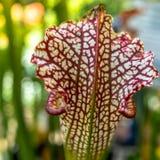 Närbildsikt av nepenthesen för kannaväxt, som tilldrar kryp med dess intensiva färga och lukt och smälter dem till royaltyfri foto