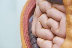 Närbildsikt av små inälvor i kroppmodell arkivfoton