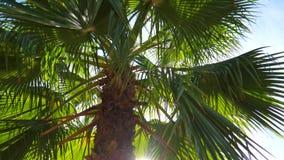 Närbildsikt för låg vinkel av den tropiska palmträdet, sidor och stammen Sommarbris, solsken till och med gömma i handflatanfilia lager videofilmer