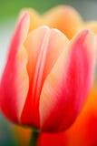 Närbildsikten på knappen av den härliga rosa tulpan med persikan kantar royaltyfria bilder