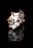 Närbildskal med reflexion på svart bakgrund arkivbilder